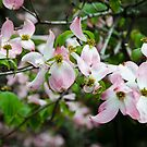 Pink Dogwood, After the Storm by Syd Weedon