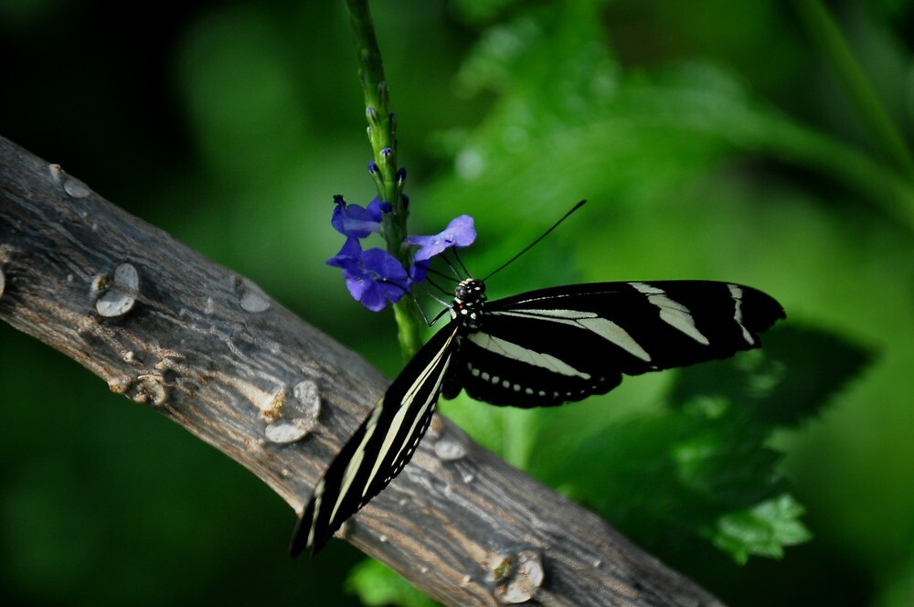 Zebra Longwing Butterfly by lynell