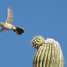 Curved-billed Thrasher ~ In Flight by Kimberly Chadwick