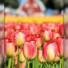 Tulip Town Tulips by Debbie Roelle