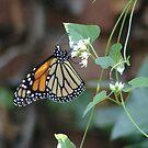 Backyard Monarch by inventor