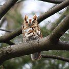 Screech Owl by Freedom