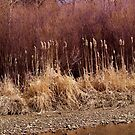 Cattails by Barb Miller
