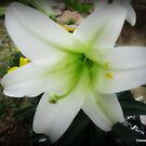 Easter Lily, Oh So Pretty by Debbie Robbins
