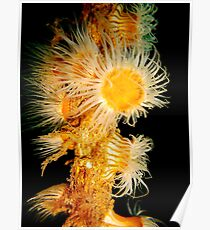 Feeding Whip Anemone Poster