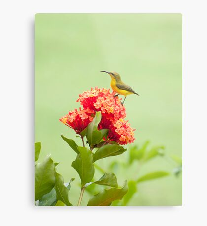 Little Sweety - yellow bellied sunbird Metal Print