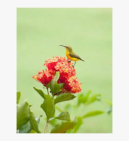 Little Sweety - yellow bellied sunbird Photographic Print