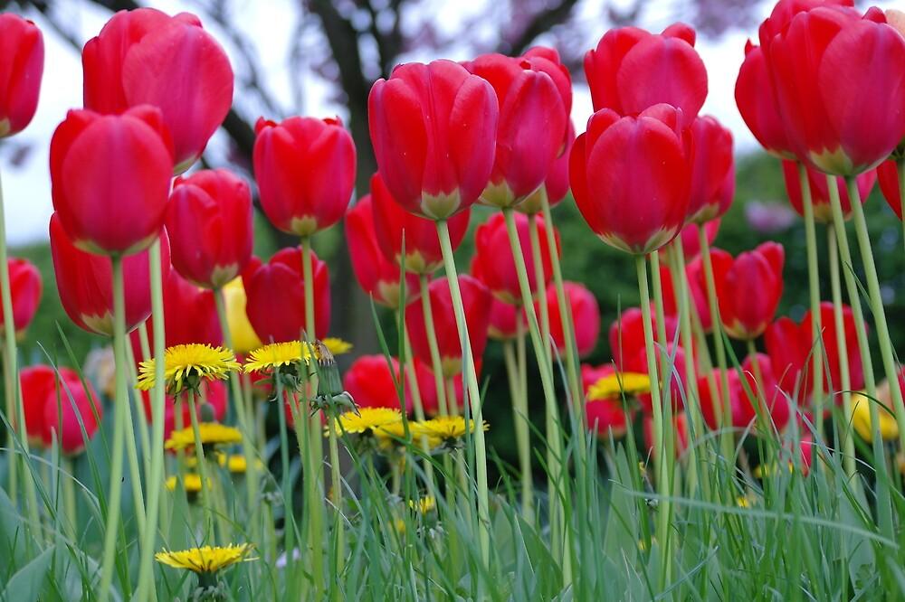 Tulips 01 by scarlletbloom