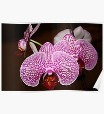 Little Orchids Poster