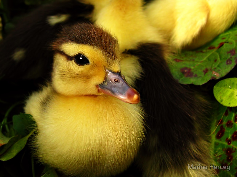 Yellow ducklings breed - photo#44