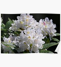 White Rhododendrons Fully Open Poster