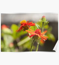 blooming red wild flowers Poster