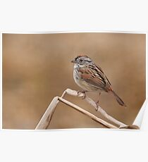 Easter morning Swamp Sparrow. Poster