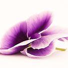 Purple Pansy I by Sara Hazeldine