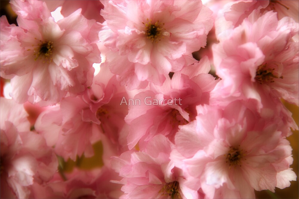 Cherry Blossom Spring by Ann Garrett