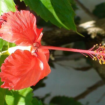 Jamaican Orange Hibiscus by Mowny