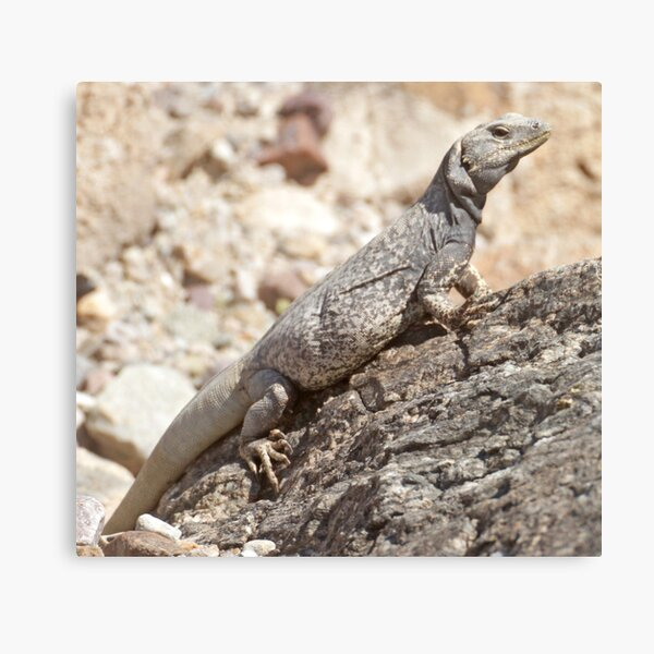 Chuckwalla Canvas Print