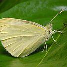 Cabbage White Butterfly - Pieris rapae by Andrew Trevor-Jones