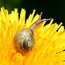 Snail visiting Dandelion by Lorrie Davis