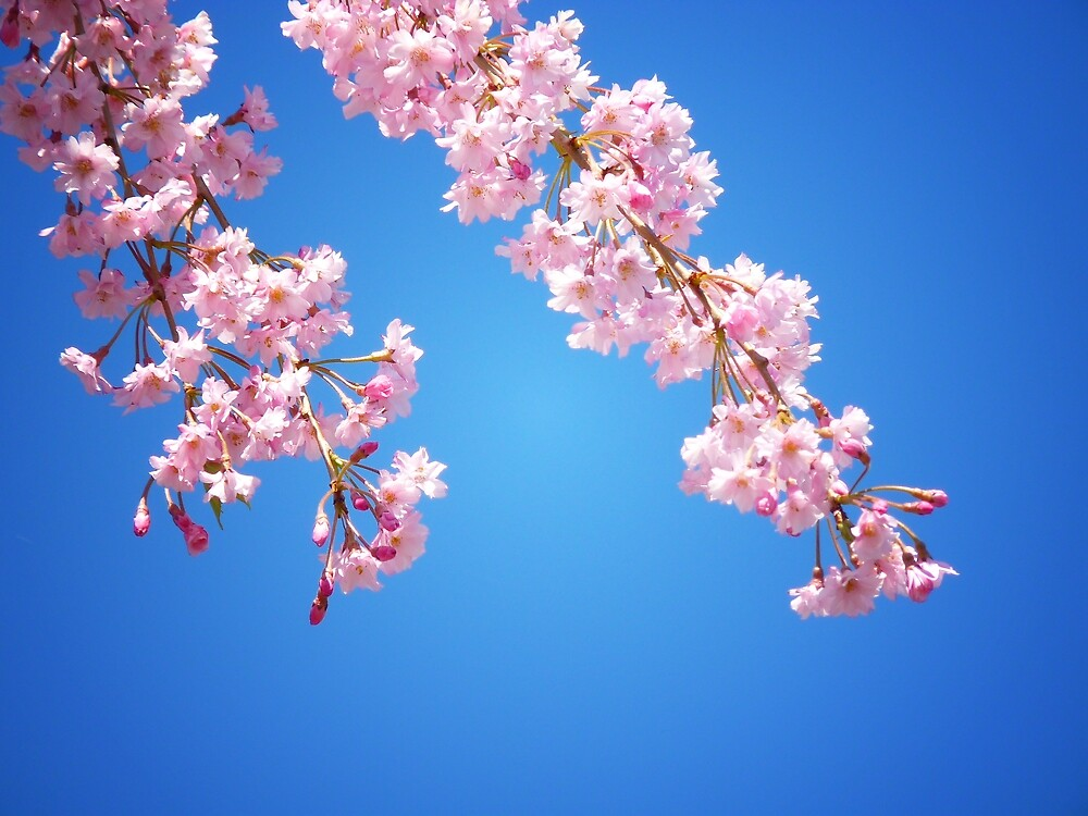 """""""Pink Cherry Blossoms Against A Blue Sky"""" by Vivienne ..."""