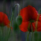 My love poppies  .  Kocham maki .  L O V E  POPPIES  .  Andrew Brown Sugar.  Views: 324 . thank you a bunch ! Ok! ok! by © Andrzej Goszcz,M.D. Ph.D