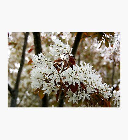 Spring white Photographic Print