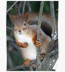 A red squirrel on a tree Poster