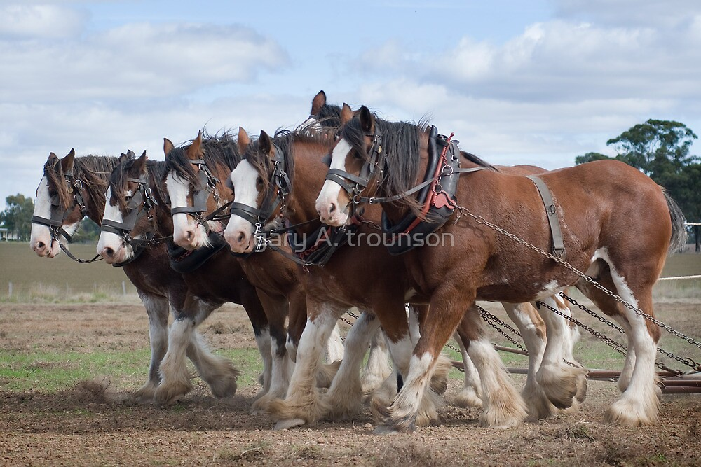 A Team of Six  Clydesdale  by gary A. trounson
