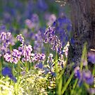 Bluebell Woods by Llawphotography