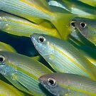 Yellow-fins Goat-fishes by MotHaiBaPhoto Dmitry & Olga