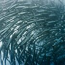 School of barracudas underwater by MotHaiBaPhoto Dmitry & Olga