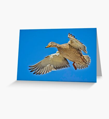 Mallard overhead Greeting Card