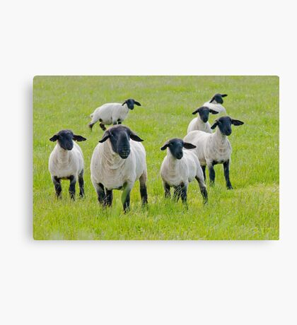 Suffolk Sheep Canvas Print