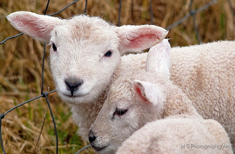 Spring Lambs by M S Photography/Art