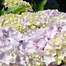 Floral Hydranges Flower Pink Lavender Garden Baslee by BasleeArtPrints