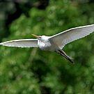 Great White In Flight by Joe Jennelle