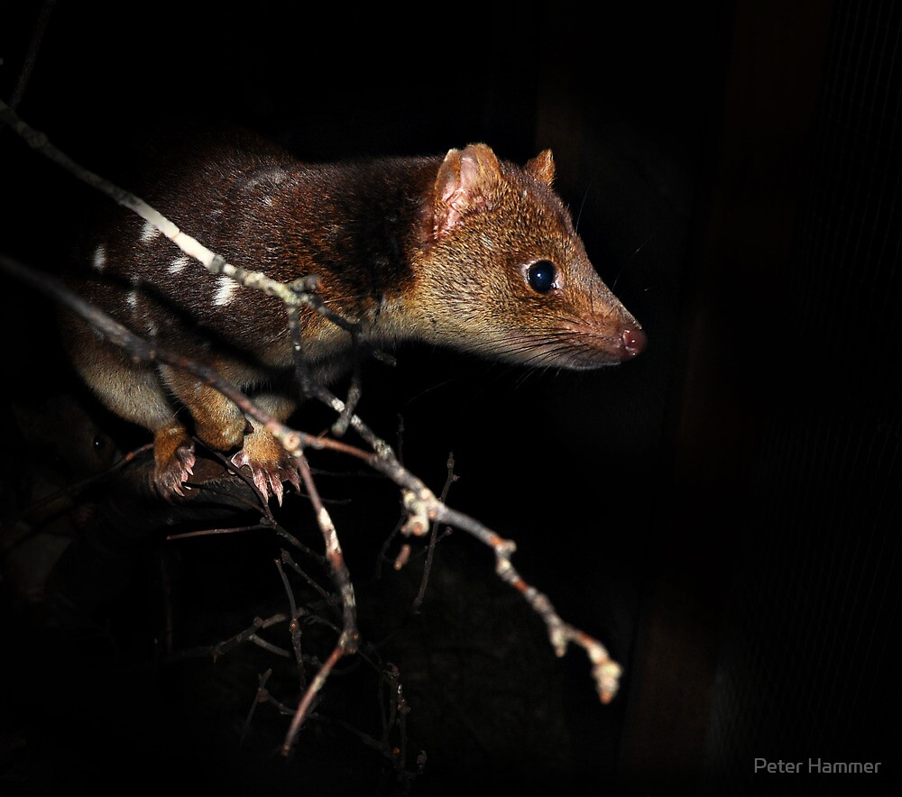 Quoll by Peter Hammer