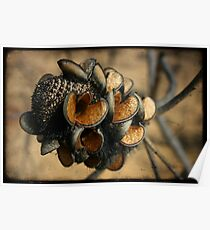 Banksia seed pods Poster