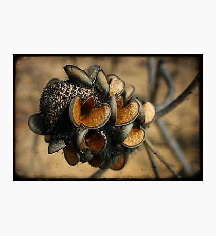 Banksia seed pods Photographic Print