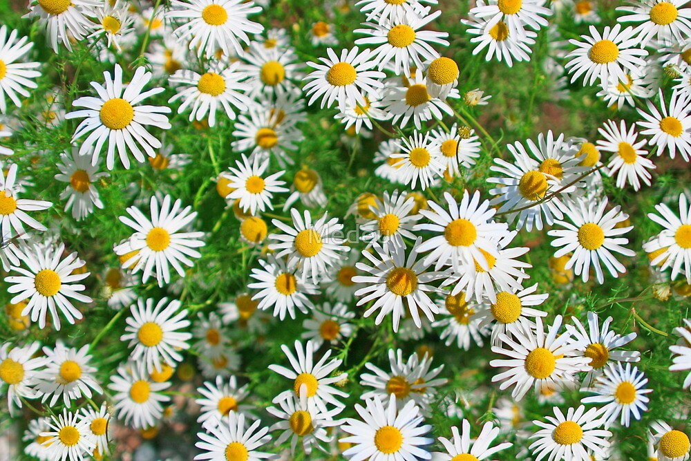 chamomile meadow by Medeu