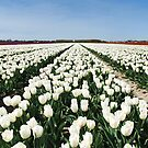 Tulips, as far as you can see..... by Adri  Padmos