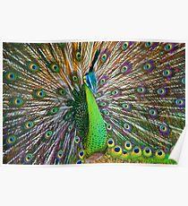 Peacock, Chiang Mai, Thailand Poster