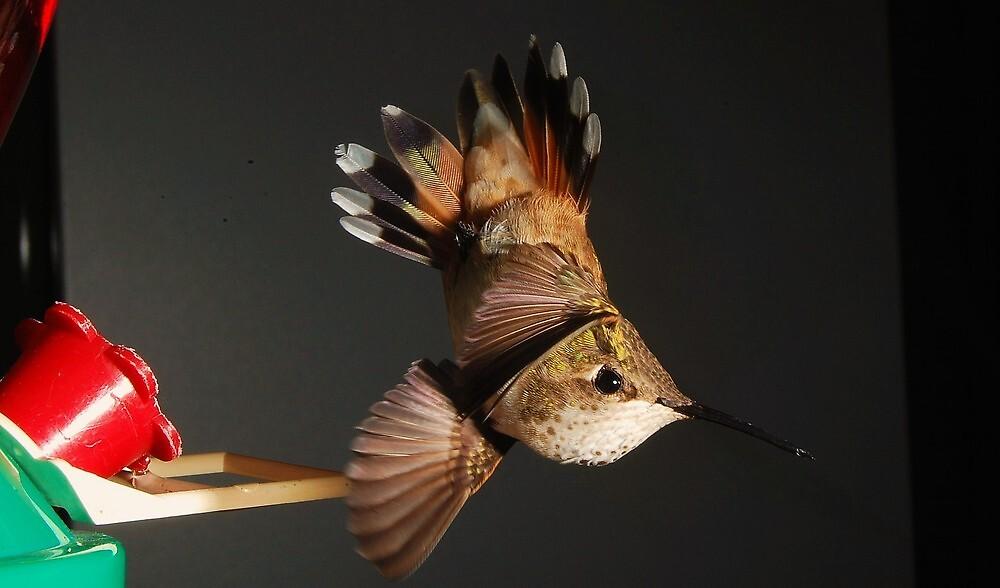 Female Rufous Hummingbird by Larryp