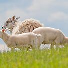 Cheviot Sheep & Lambs by M.S. Photography/Art