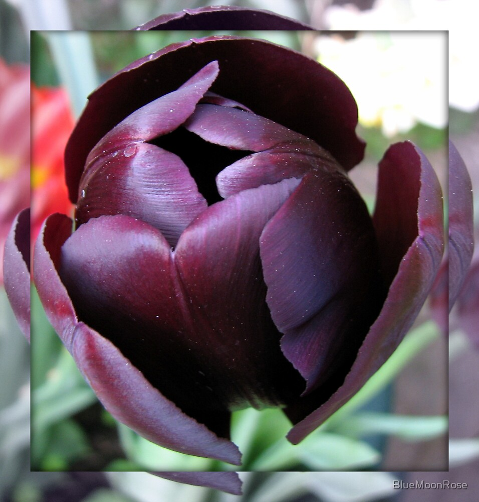 Burgandy Tulip in Mirrored Frame by BlueMoonRose