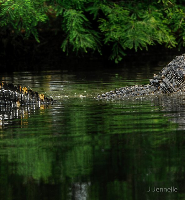 Alligator Mississippiensis Mating Bellow by J Jennelle