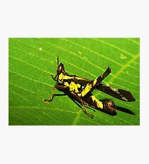 Rainforest katydid, Thailand Photographic Print