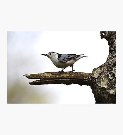 White-Breasted Nuthatch. Photographic Print