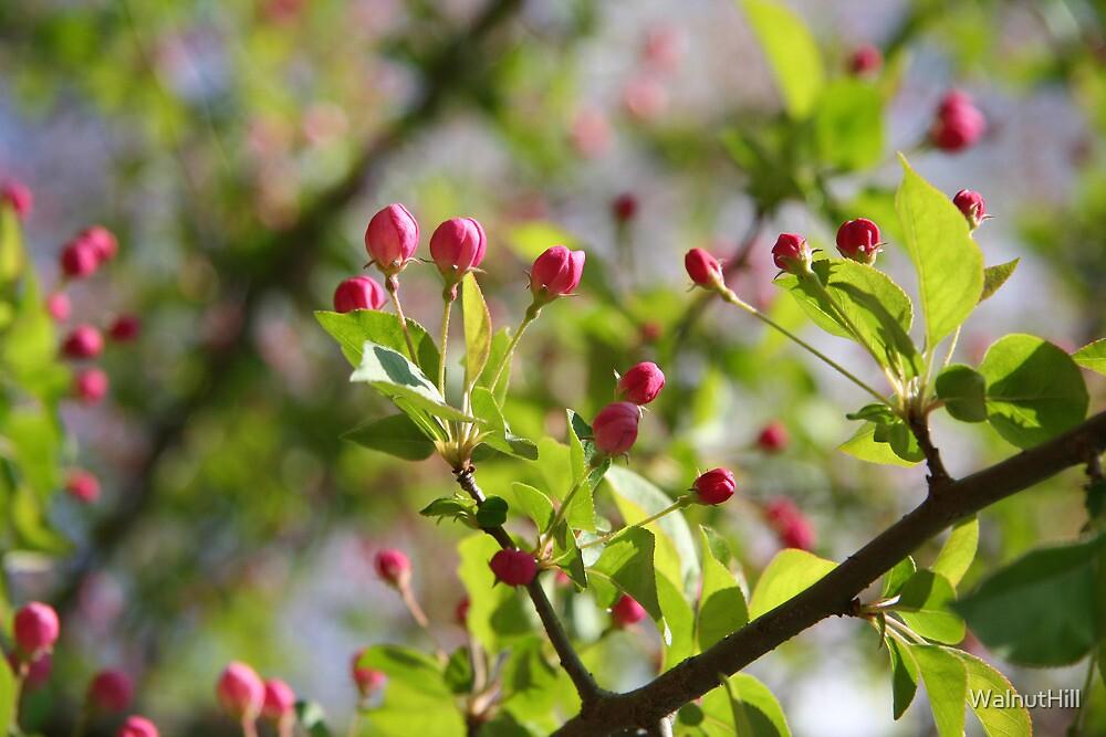 Budding Pink 1 by WalnutHill