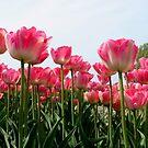 Pink Tulips by ienemien